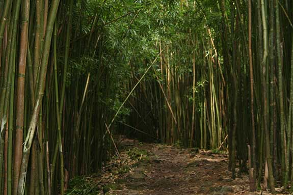 The bamboo forest trail in Hana Maui.